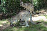 kanguruo_w