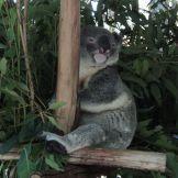 koalo_w